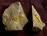Kingaspis sarhroensis GEYER 1990