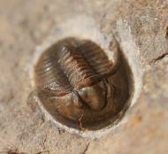Tropidocoryphe sp.