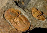 Ectillaenus giganteus & Colpocoryphe rouaulti  & ?Mitrocystella