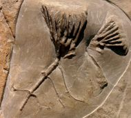 Clematocrinus retiarius (Phillips in Murchison 1839