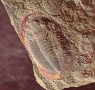 Asaphellus fezouataensis  Vidal, 1998