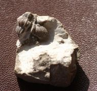 Cyphaspis ceratophthalmus (Goldfuss,1843)
