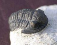 Gerastos tuberculatus (BARRANDE 1846)
