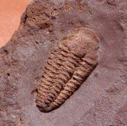 Litavkaspis rejkovicensis FATKA et al., 1987