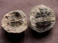 Eldredgeia venustus (WOLFART, 1968)
