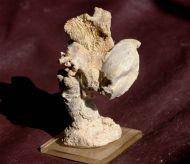 Juralina insignis (Schübler, 1820) &  Thecosmilia trichotoma (GO