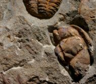 Ptychoparioides henkli & Ellipsocephalus vetustus