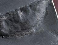 Nahecaris stuertzi Jaeckel, 1921