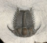 Cyphaspides sp.