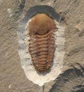 Kingapis  cf. sarhroensis   GEYER 1990