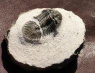 Scabriscutellum cf. furciferum (Hawle & Corda 1847)