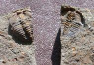 Ctenocephalus coronatus (Barrande, 1846)