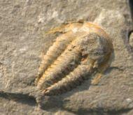 Kymataspis arenosa GEYER, 1990