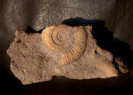 Dactylioceras athleticum (SIMPSON 1855)