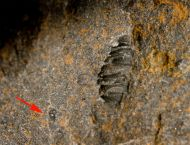 Raw Trilobite,  ?Diademaproetus sp.