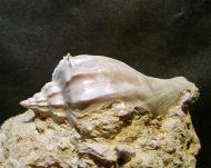 Athleta (Neoathleta) citharoedus (Holten, 1802)
