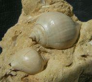 Sycostoma bulbus &  Sycostoma bulbiforme