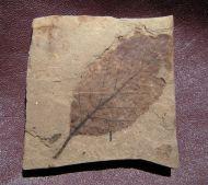 Alnus parvifolia (Berry, 1926)