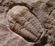 "Ellipsocephalus ""vetustus"" (POMPECKJ, 1895)"