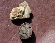 Treveropyge wiltziana Basse, 2003