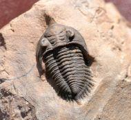 Pseudocryphaeus minimus MORZADEC, 2001