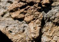 Trichasteropsis weissmanni (MUENSTER)