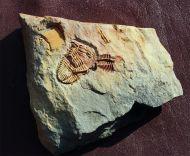 Placoparia tournemini  ROUAULT 1847