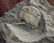 Eodalmanitina macrophtalma & Prionocheilus medax
