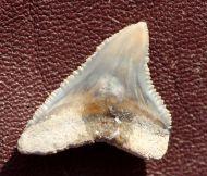 Carcharhinus obscurus (Lesueur, 1818)