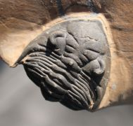 Metacanthina cf. issoumourensis Morzardec 2001