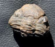 Pedinopariops sp.