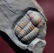 Ellipsocephalus hoffi (Schlotheim, 1823)