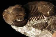 Bumastus ioxus (HALL, 1852)