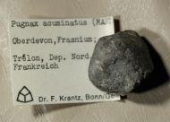 Pugnax acuminatus (W. Martin 1809)