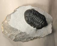 Boeckops ovatus MCKELLAR et al 2009