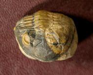 Cornuproetus  infans  Alberti 1969