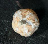 Microcyphus rousseaui (Agassiz & Desor 1846)