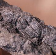 Protolloydolithus ramsayi (Hicks 1875)