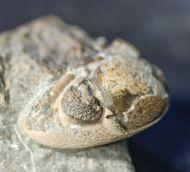 Phacops fragosus Struve, 1970