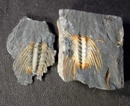 Selenopeltis (Laguedopeltis) gallicus (Bruton in Bruton & Henry)