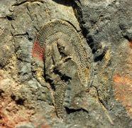 Eoharpes macaoensis Romano & Henry 1982