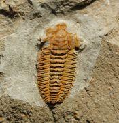 Protolenus (Protolenus) sp.