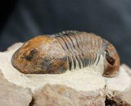 Paralejurus  bohemicus SNAJDR, 1960