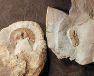Cyclopyge cf redeviva & Declivolithus alfredi