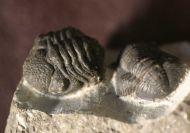 Gerastos tuberculatus (BARRANDE 1846)  &  Phacops sp.
