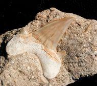 Otodus obliquus AGASSIZ 1843