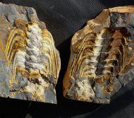 Selenopeltis (Laguedopeltis) gallicus & Prionocheilus sp.