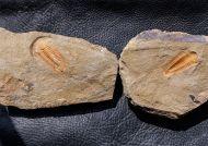 Myopsolenites boutiouiti GEYER 2004