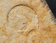 Lingulaticeras solenoides (QUENSTEDT , 1849)