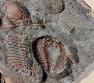 Prionocheilus mendax & Eccoptochile almadenensis